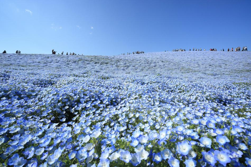 Baby Blue Eye Flowers in Japan'